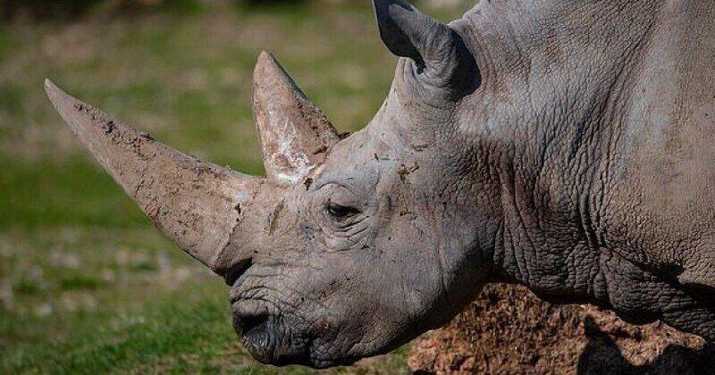 Умер самый старый белый носорог в мире