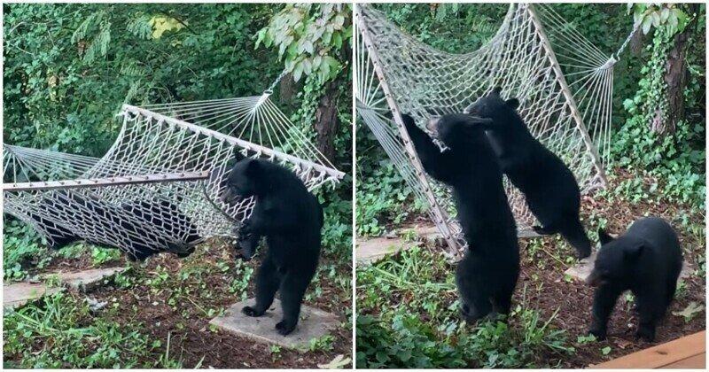 Медвежата обнаружили гамак и решили покачаться