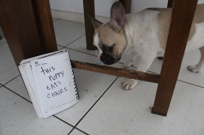 Hungry puppy eats Chair
