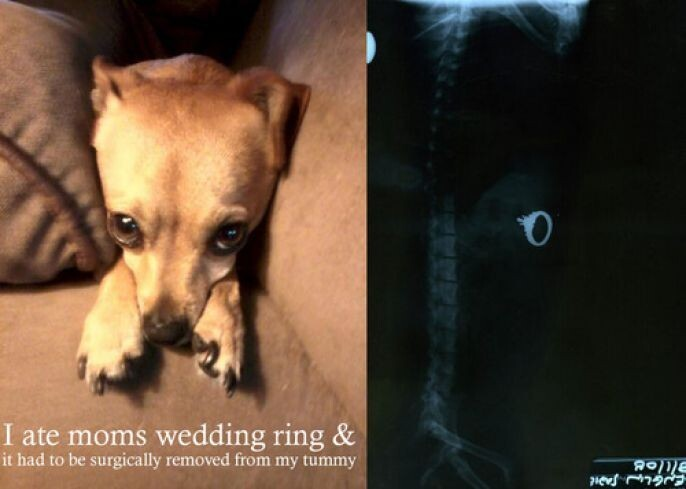 Puppy ate the wedding ring