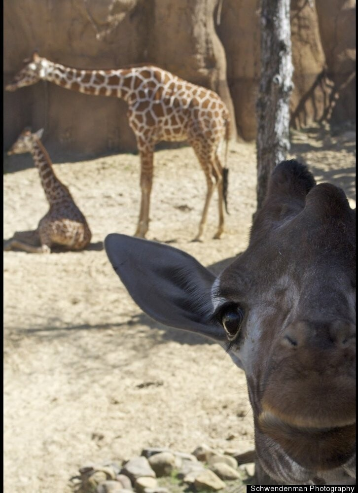 Giraffe Photobombs other Giraffes