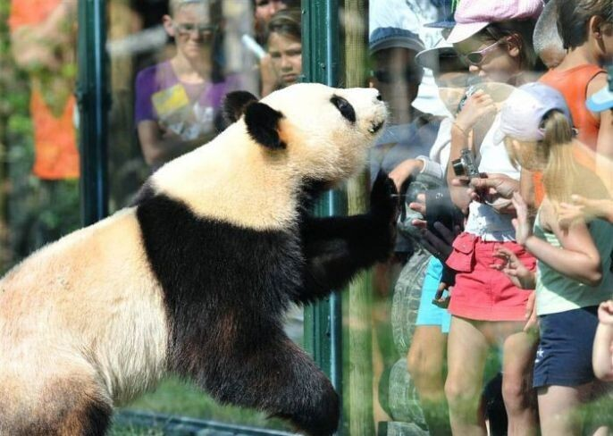 Panda with Crowd