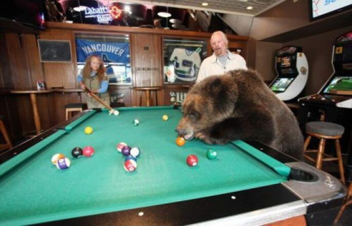 Bear playing pool