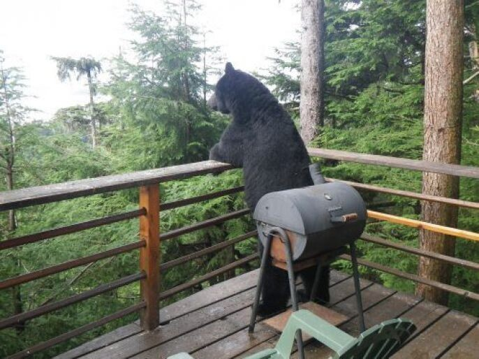 Bear looking off the deck