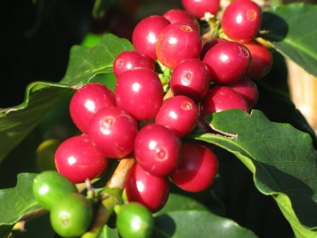 4. Coffee beans grow in berries!