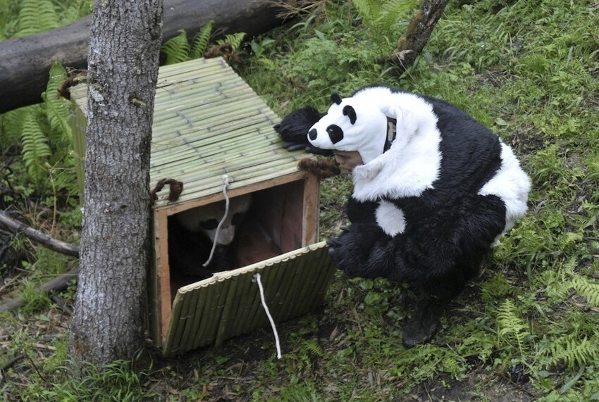 Chinese Researchers Dress Up In Adorable Panda Costumes