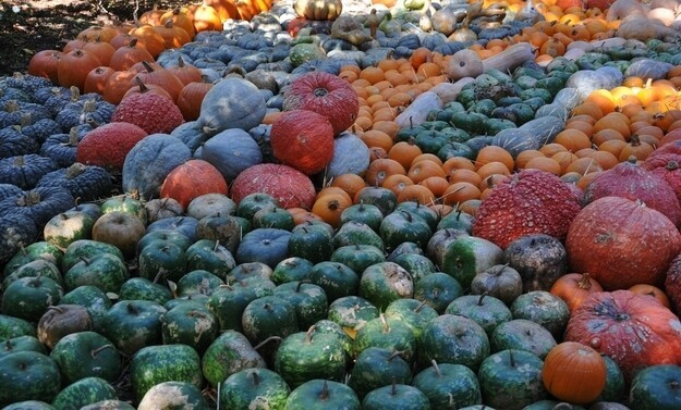 While pumpkins are typically orange, they can also be green, white, red and gray.