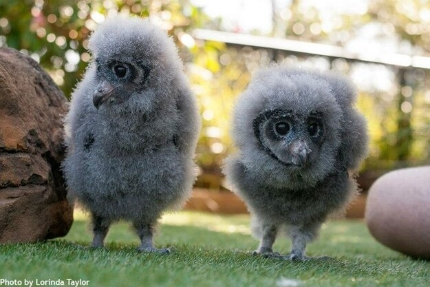 Sooty Owl Chicks Are Way Too Fluffy and Tiny To Actually Exist