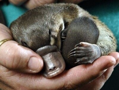 Pictures Of Baby Platypuses That'll Make Your Heart Melt