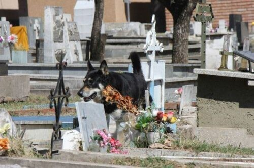 Loyal German Shepard sits by his former master's grave