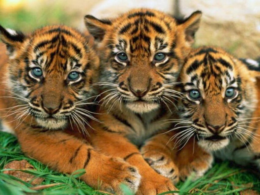 The Many Colors of Bengal Tigers