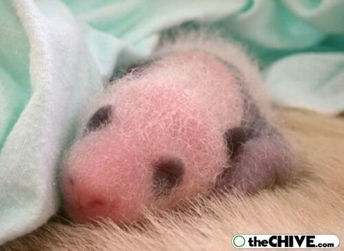 Baby Pandas Are Smaller Than You Think
