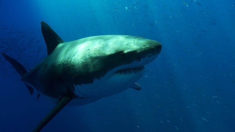 The Great White Shark: Masters of the Sea