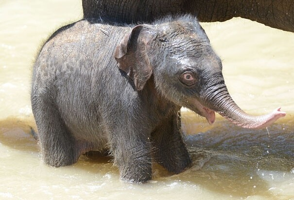 Baby Elephant Going for a Swin with his Mom for the First Time