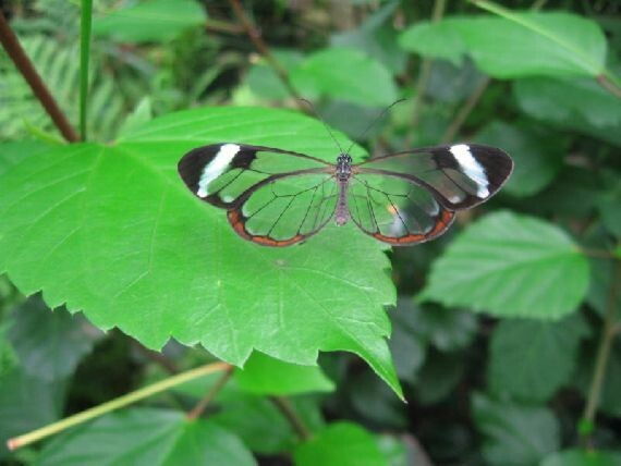 Incredible Glasswinged Butterfly