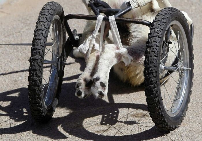 Roller Legs for a Paralyzed Dog