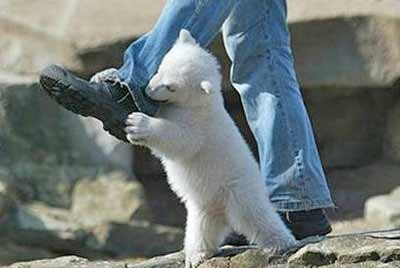 Baby Polar Bear, What Can Be Cuter?