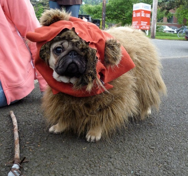 The Coolest Pug Outfits EVER