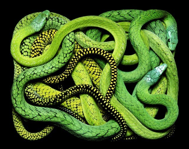 "Spectacular Snake Contortions Revealed In ""Serpentine""."
