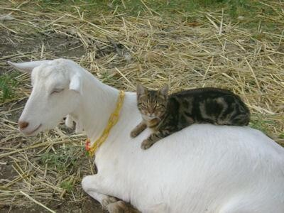 Cat That Meows Like a Goat