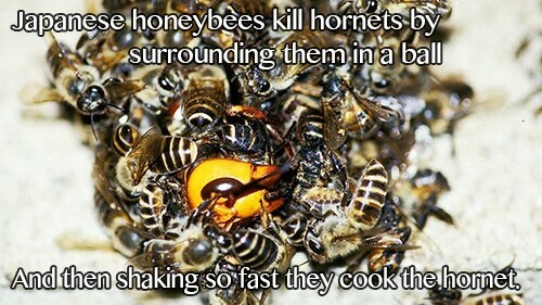 Japanese Honeybees