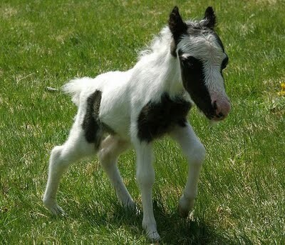 Cute Little Mini Horse