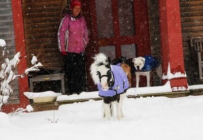 Mini Horse Einstein  In The Snow