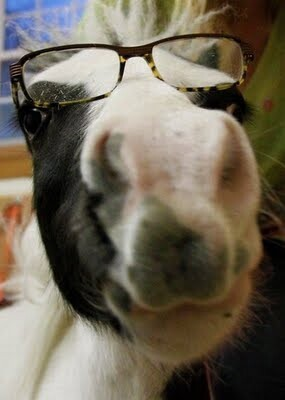 Mini Horse Einstein With Glasses On