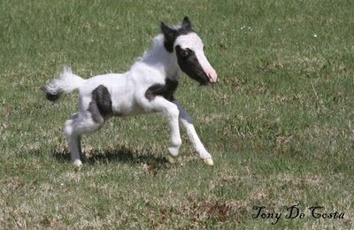 Mini Horse Einstein Running