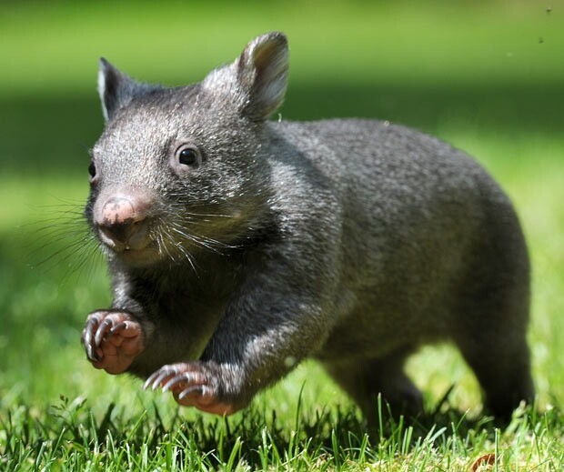 Little Running Wombat
