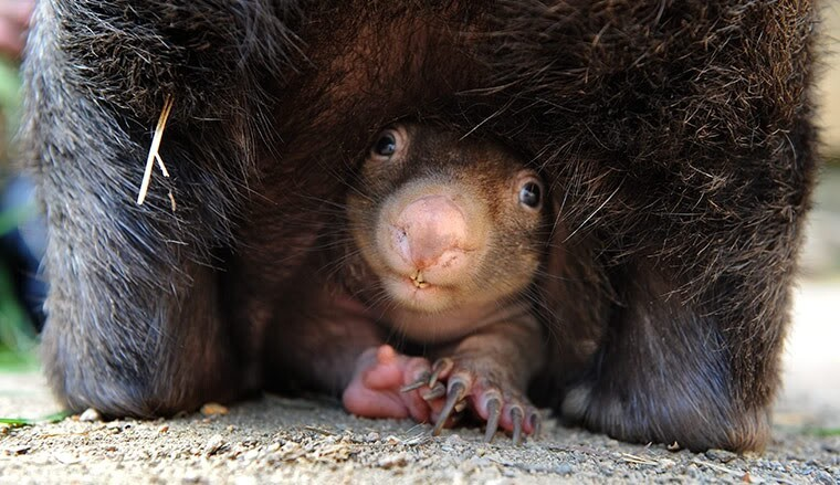Adorable Baby Wombat