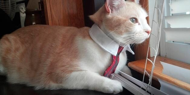 Cat in tie at work
