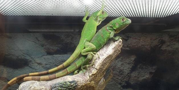 lizard teamwork