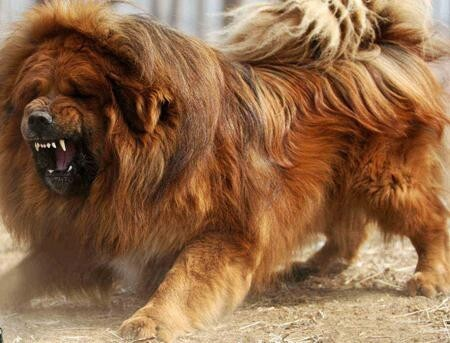 World's Most Expensive Dog, Tibetan Mastiff