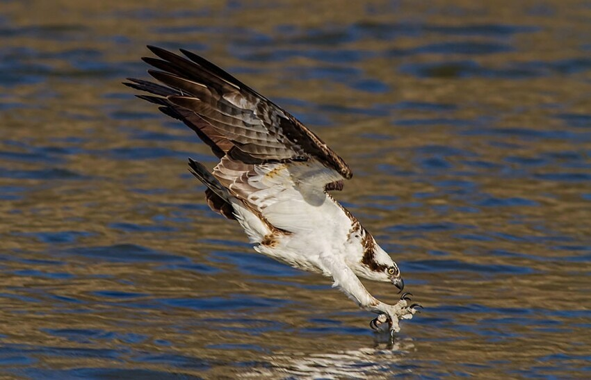 Osprey Just Before Impact