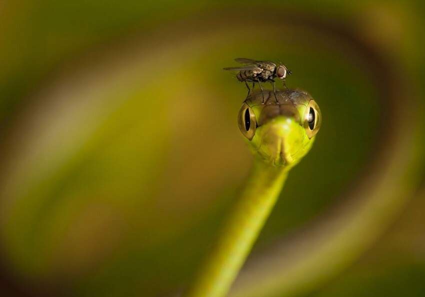 Fly Cap for a Vine Snake