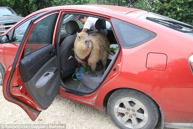 Melanie, who adopted Gary from an owner who could no longer care for him, said having a capybara was not so different