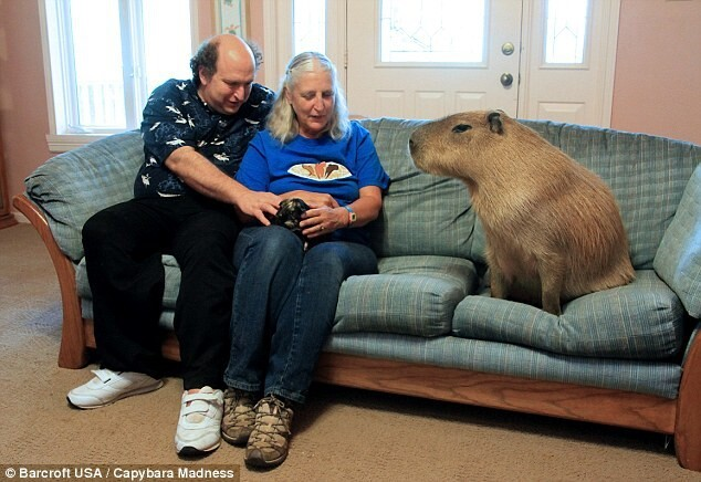 Melanie Typaldos and her husband Richard Loveman make room on the couch for their pet - an eight-stone capybara