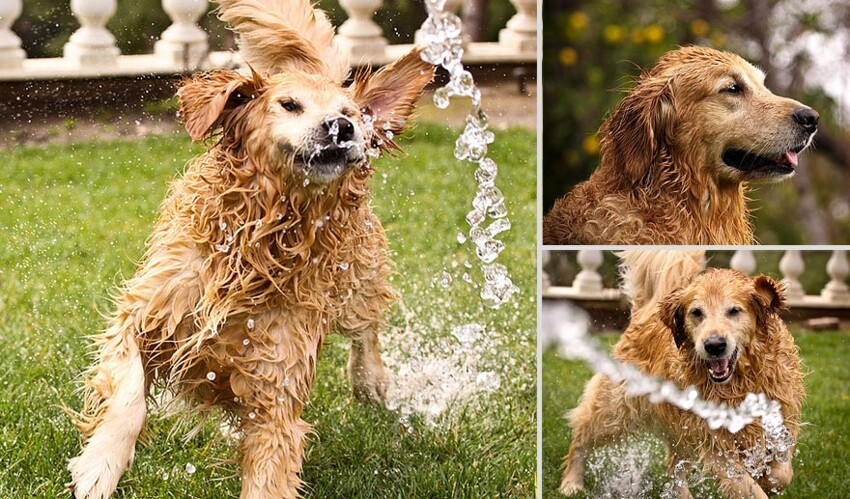 Golden Retriever Champ: Probably the Happiest Dog In The World