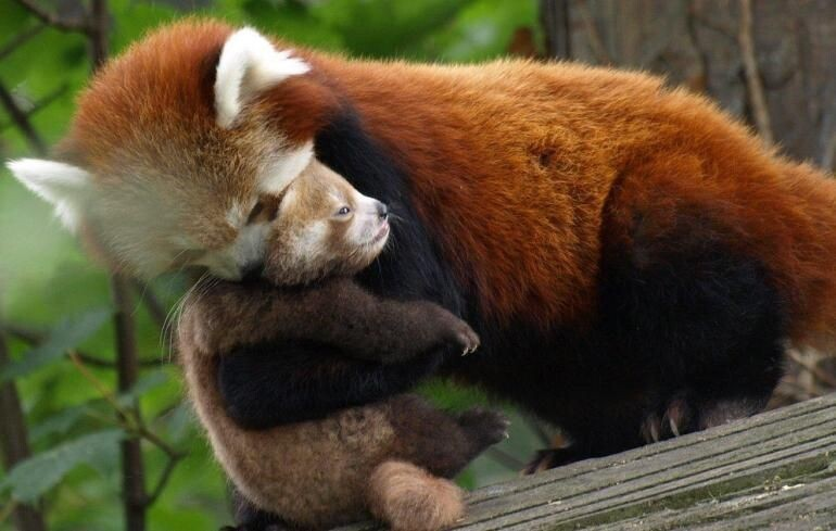 Meet the Adorable Red Panda