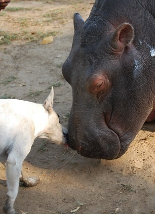 Friendship between hippo and a dog