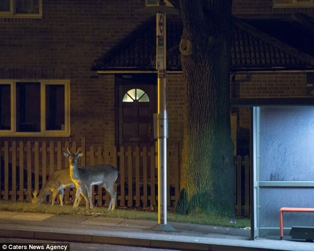 Deers on London streets