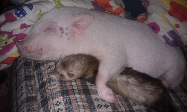 Very Important Pigs Are Here To Melt Your Heart