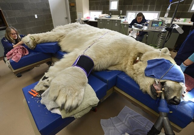 Polar Bear Goes To The Doctor
