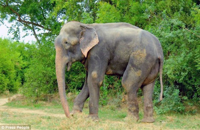 Heroic Rescuers Save This Elephant From 50 Years Of Spiked Chains And