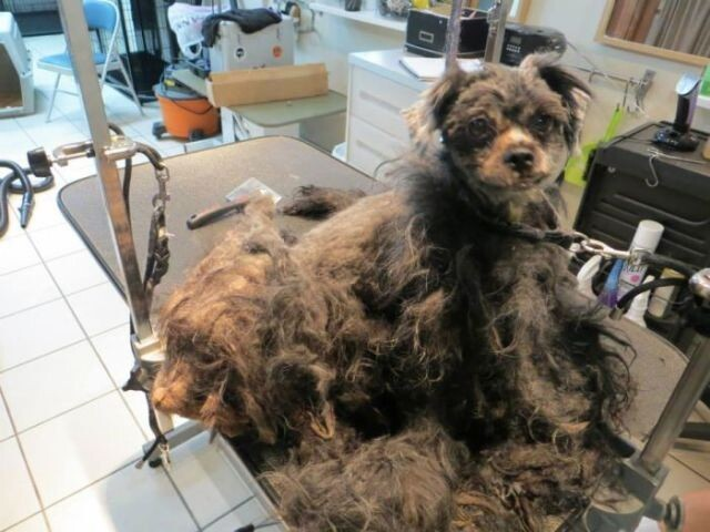 A Bedraggled Pile of Fur Becomes a Sweet Little Dog