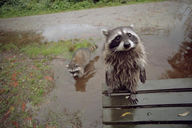 Raccoons are awesome!