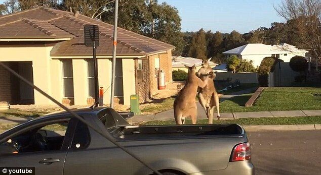 Two boxing kangaroos