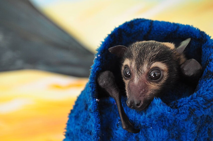 There's A Bat Hospital In Australia That Takes In Abandoned Baby Bats