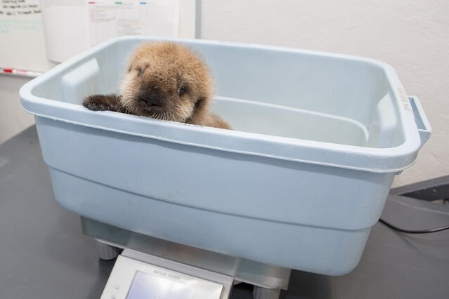 Orphaned Sea Otter Pup Finds Home in Chicago